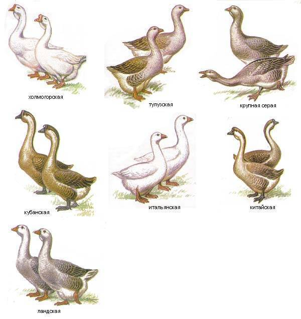 Породы гусей — самые популярные и продуктивные породы для разведения и выращивания в домашних условиях (115 фото и видео)