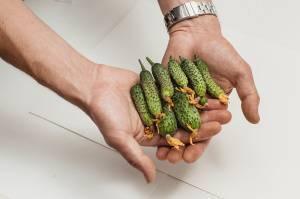 25 ультраранних сортов огурцов для открытого грунта