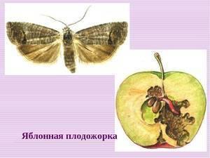 Яблоневая плодожорка - лучшие методы борьбы с вредителем