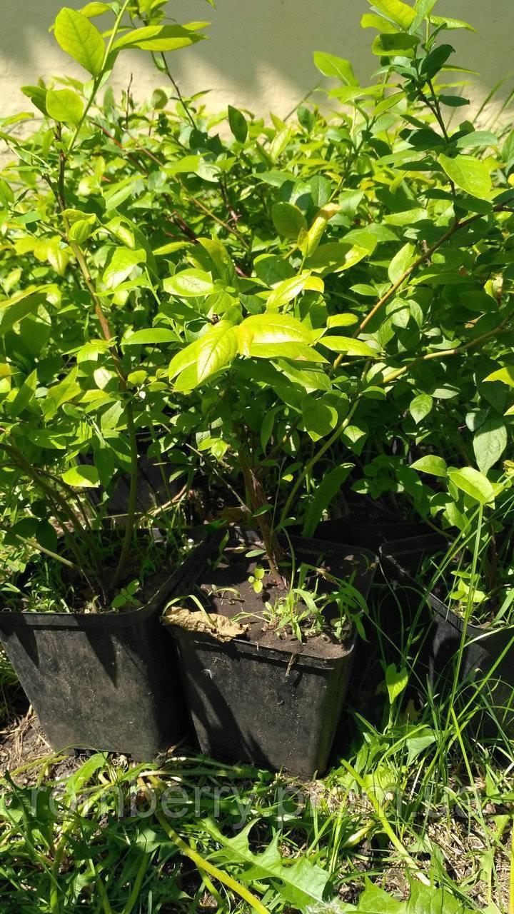 Разновидности сортов голубики садовой