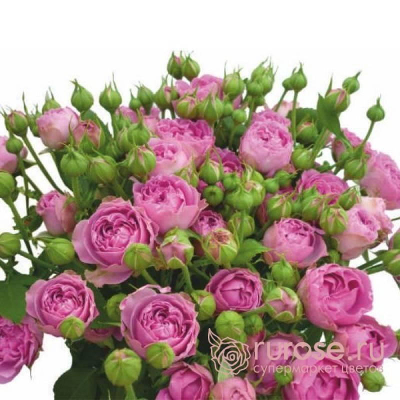 О розе Misty Bubbles: описание и характеристики сорта кустовой розы