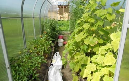 Перец и баклажаны в теплице – вместе с огурцами и помидорами. выращивание перца и баклажанов в теплице
