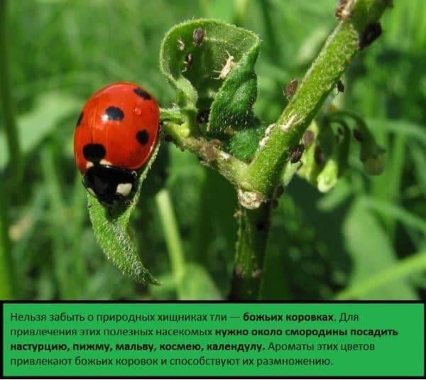 Как бороться с муравьями на смородине: как вывести народными средствами