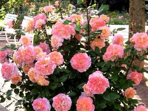 Ее величество – роза августа луиза