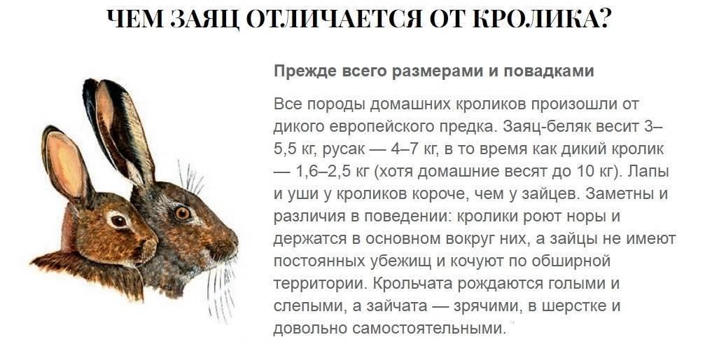 """Исследовательская работа """"чем отличается заяц от кролика"""""""