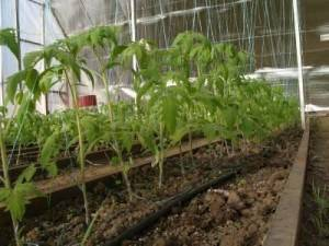 Как вырастить помидоры в теплице из поликарбоната - инструкция с пошаговым руководством!