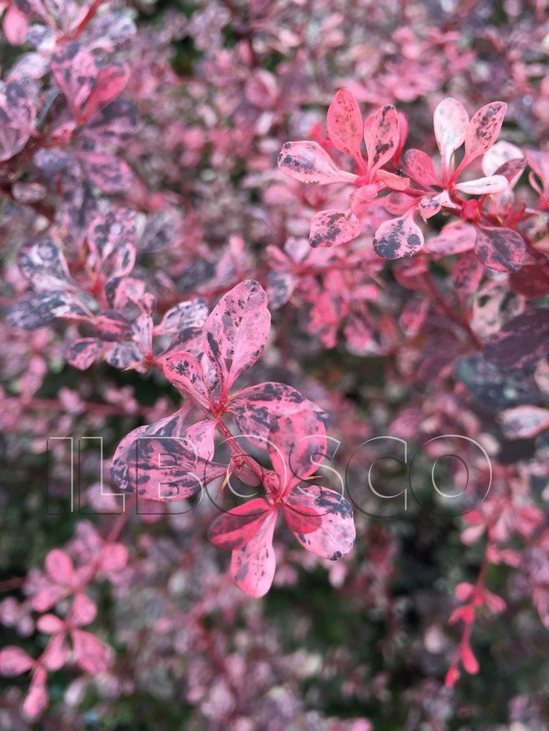 Барбарис «арлекин» (35 фото): описание барбариса тунберга harlequin, использование в ландшафтном дизайне, высота растения