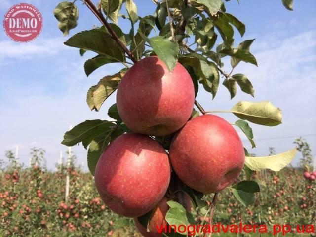 Яблоки фуджи - характеристика сорта с фото и отзывами