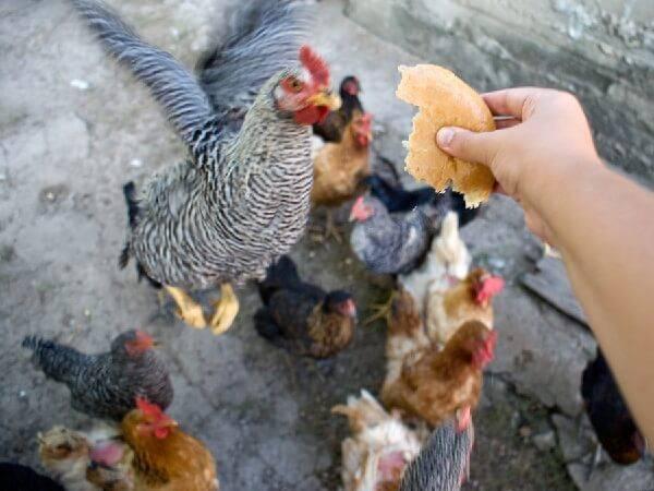 Как кормить кур несушек в домашних условиях