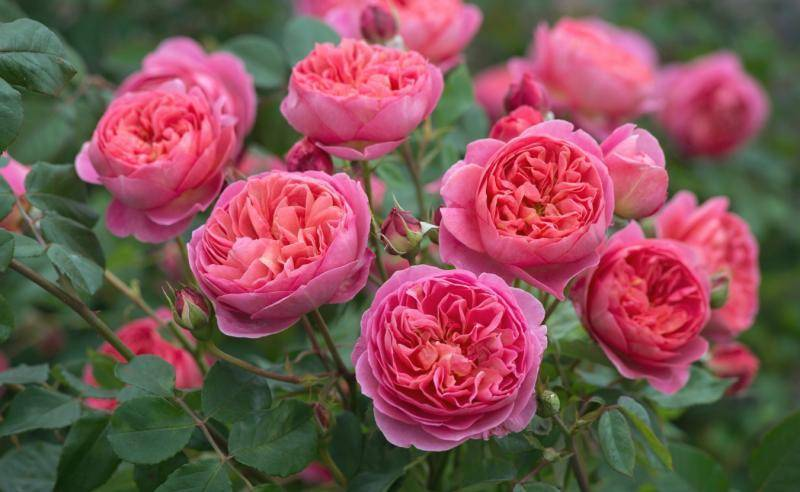 Садовые хитрости: как защитить розы от болезней и вредителей, если под рукой нет химикатов