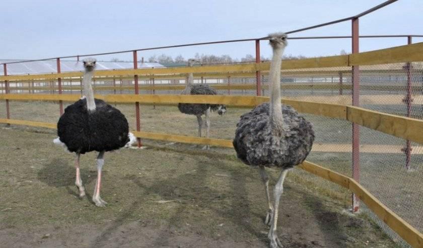 Содержание и разведение страусов в домашних условиях для начинающих