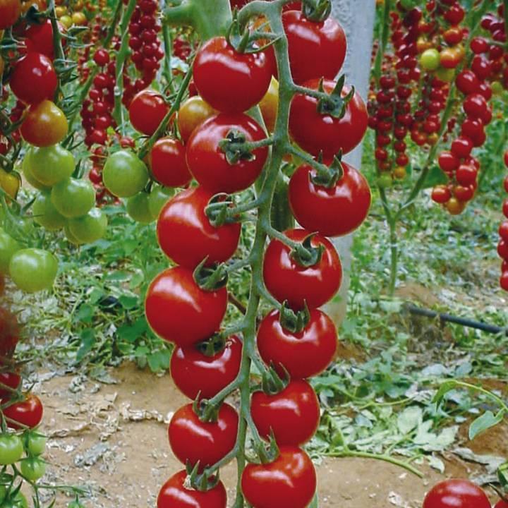 Пасынкование помидоров в открытом грунте. выращивание, уход. секреты и советы