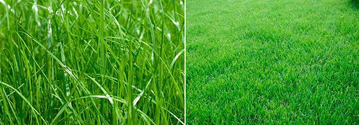 Все о мятлике луговом: что за растение, как выглядит, особенности выращивания