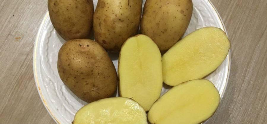 Сорт картофеля сатина: описание и характеристика, агротехника выращивания, уход