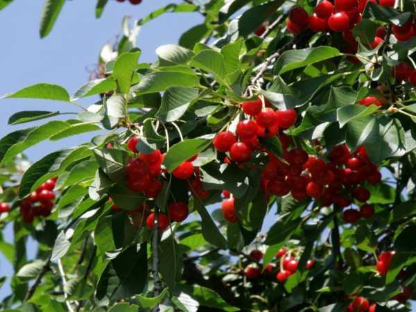 О вишне Брусницына: описание и характеристики сорта, посадка и уход