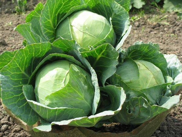 Топ-9 лучших сортов капусты для квашения