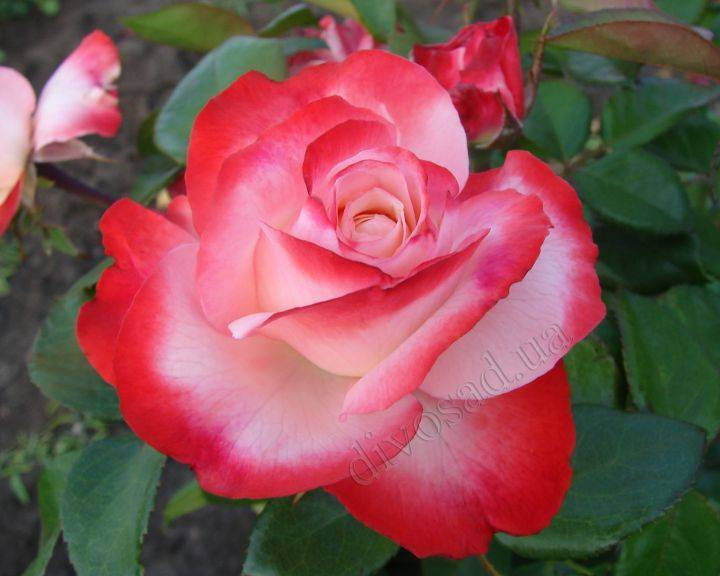 О чайно гибридной розе Ностальжи (Nostalgie): описание и характеристики сорта