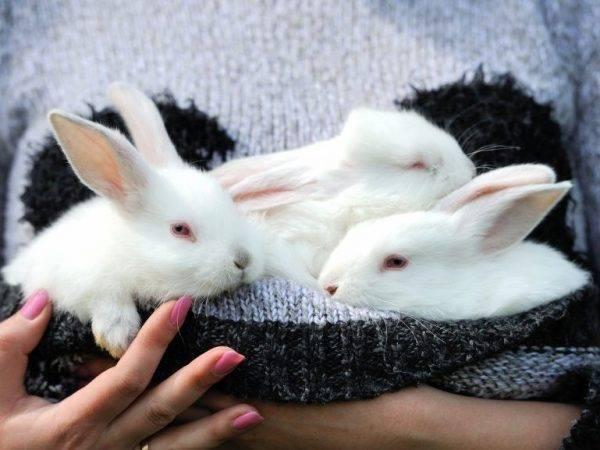 Как выкармливать крольчонка без крольчихи: инструкции и рекомендации