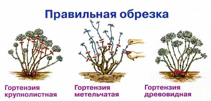 Как укрывать крупнолистную гортензию на зиму