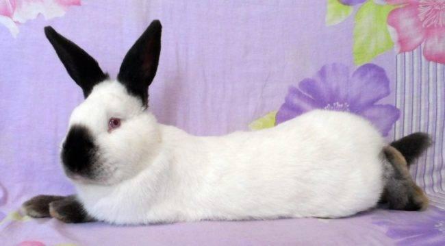 Калифорнийский кролик (48 фото): описание породы, особенности разведения и содержания кроликов. как изменяется вес кроликов по месяцам? отзывы владельцев