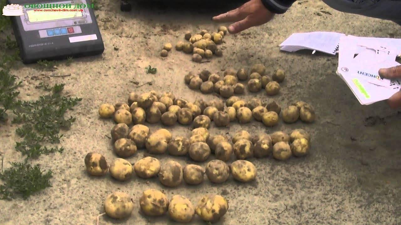 Сорт картофеля ривьера: характеристика и описание, посадка и уход