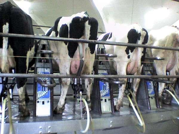 Технология доения коров - технология доения коров на линейных доильных установках с молокопроводом
