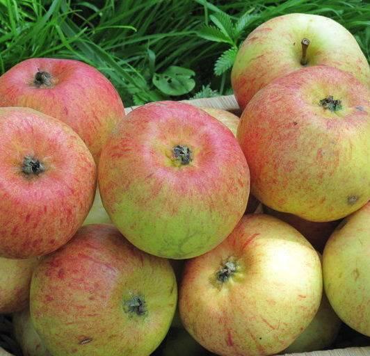 Яблоня коробовка: описание сорта и фото