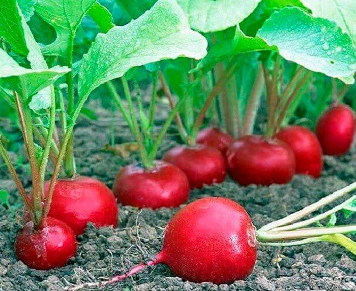 Выращивание редиса из семян в открытом грунте: лучшие сорта с фото, посев