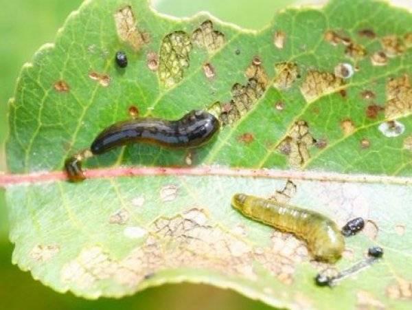 Самые эффективные методы борьбы с вредителями вишни