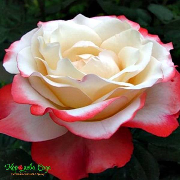 Как вырастить розу ностальжи