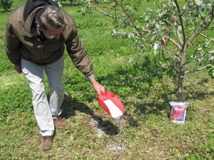 Чем подкормить вишню весной чтобы плодоносила и давала хороший урожай?