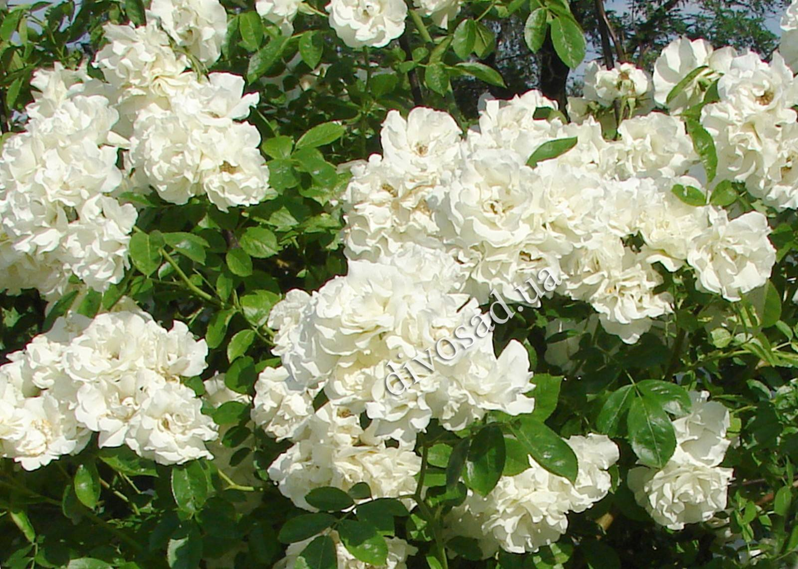 плетистая роза кримсон рамблер фото одно самых популярных