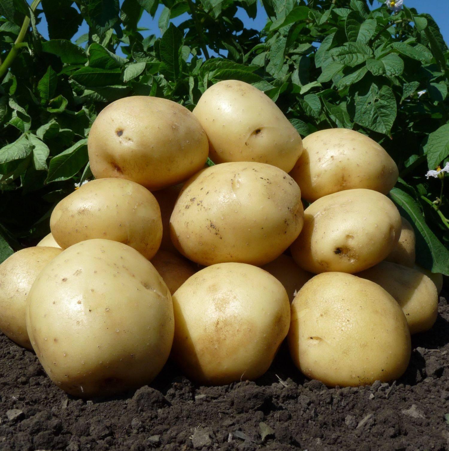 Характеристика ранних сортов картофеля