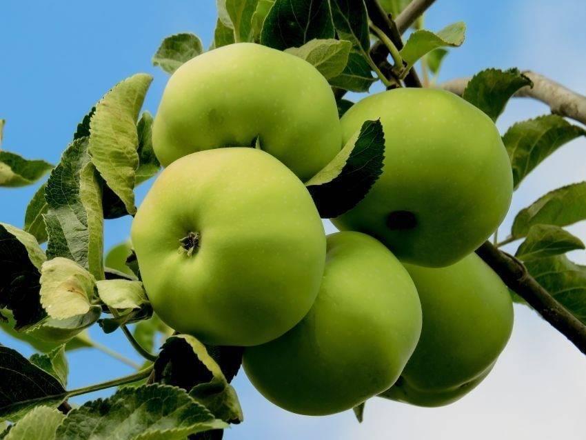 Сладкие сорта яблок для подмосковья, урала, средней полосы россии, беларуси и украины
