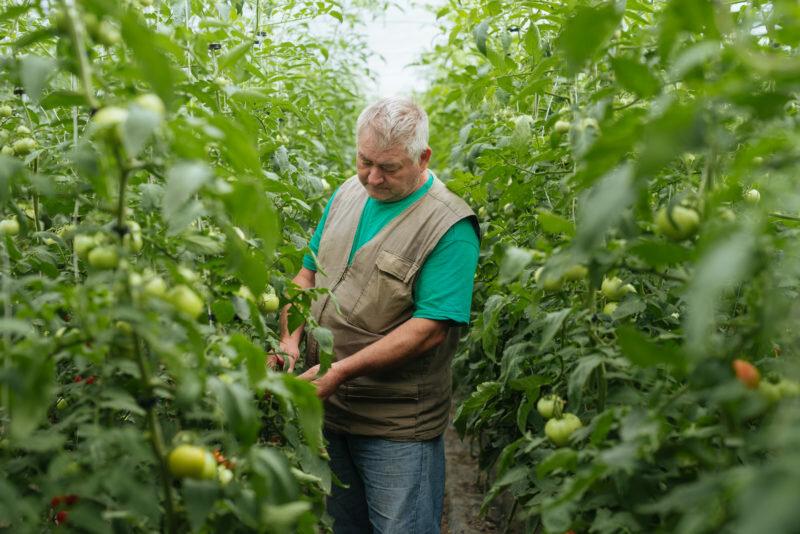 Как, какие и когда обрывать листья у помидоров, а самое главное – зачем?