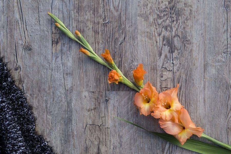 Почему и что делать, если листья гладиолуса желтеют, сохнут, вянут