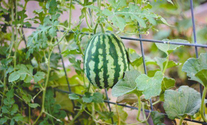 Пошаговая подкормка арбузов для увеличения урожая