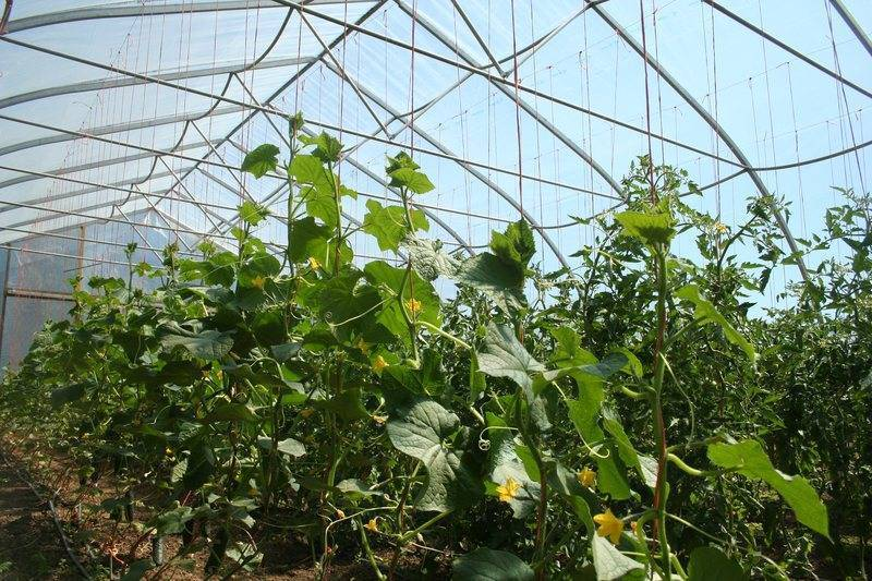 Можно ли в теплице сажать и огурцы и помидоры: особенности, совместимость, посадка и уход, совместное выращивание