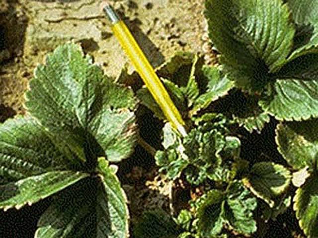 Вредители клубники — фото, описание и методы борьбы