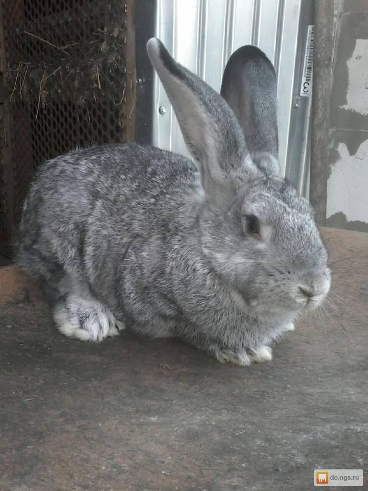 Что лучше кролик или шиншилла