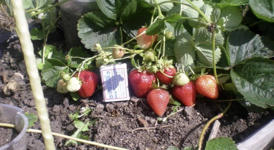 Клубника альбион: описание сорта, фото, отзывы садоводов