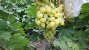 Виноград аркадия: характеристика и описание, посадка и уход