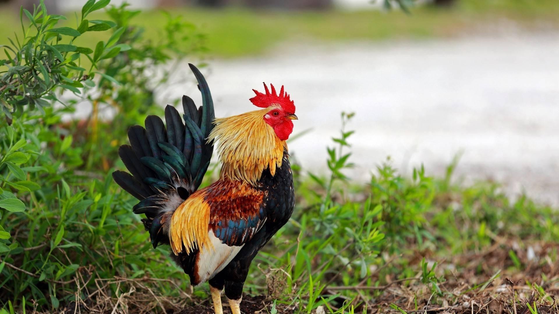 Дикая курица в россии