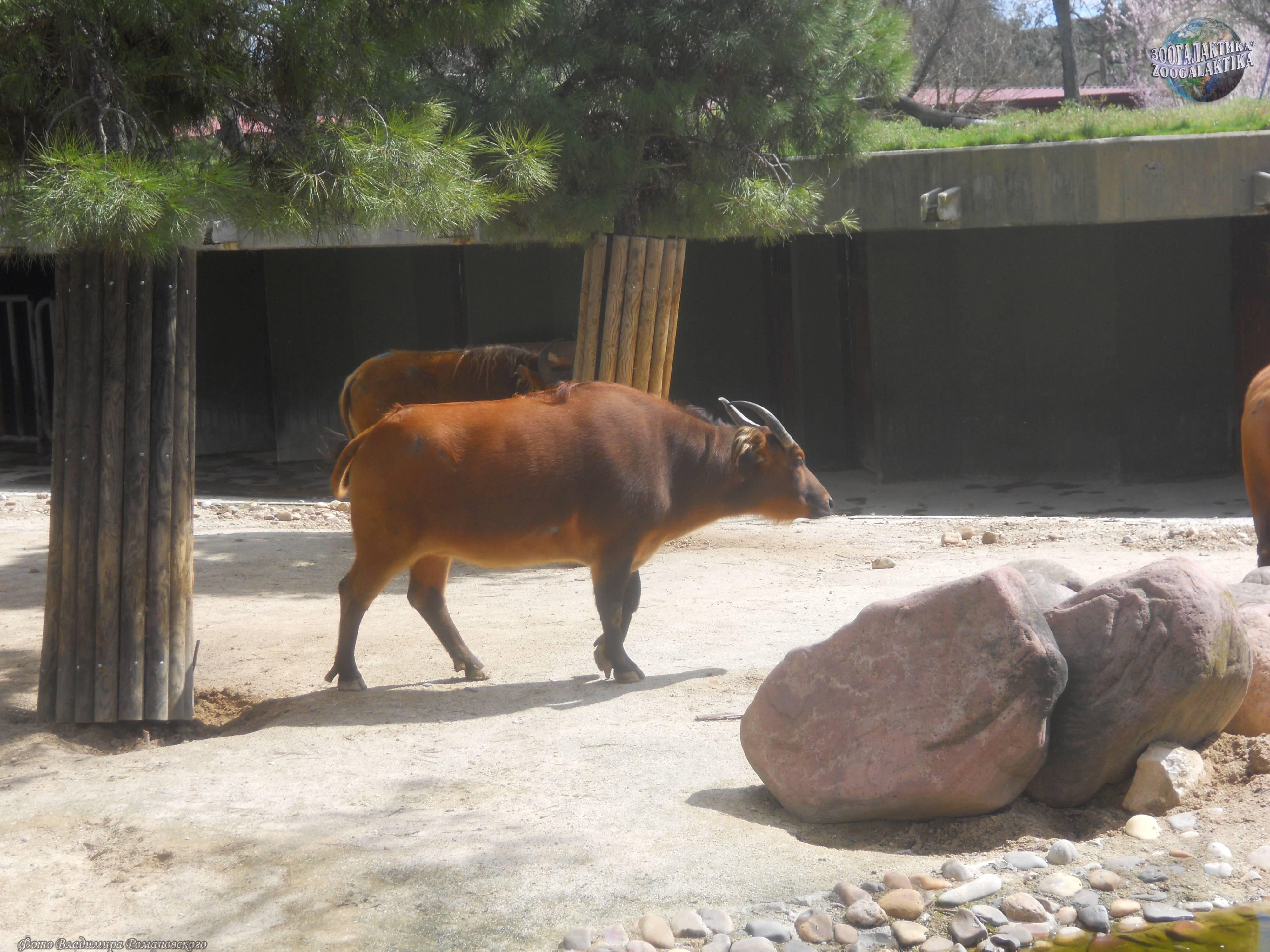 Уникальное животное среди буйволов: карликовый буйвол