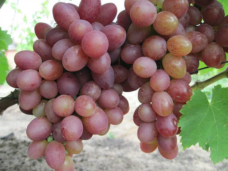Виноград тасон — один из лучших сверхранних сортов
