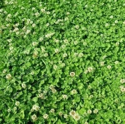Условия выращивания клевера как зеленого удобрения (сидерата)