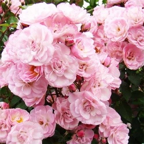 Неповторимый аромат мускусной розы