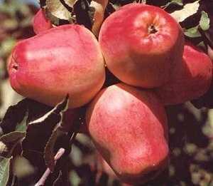 Сорт колоновидной яблони гирлянда