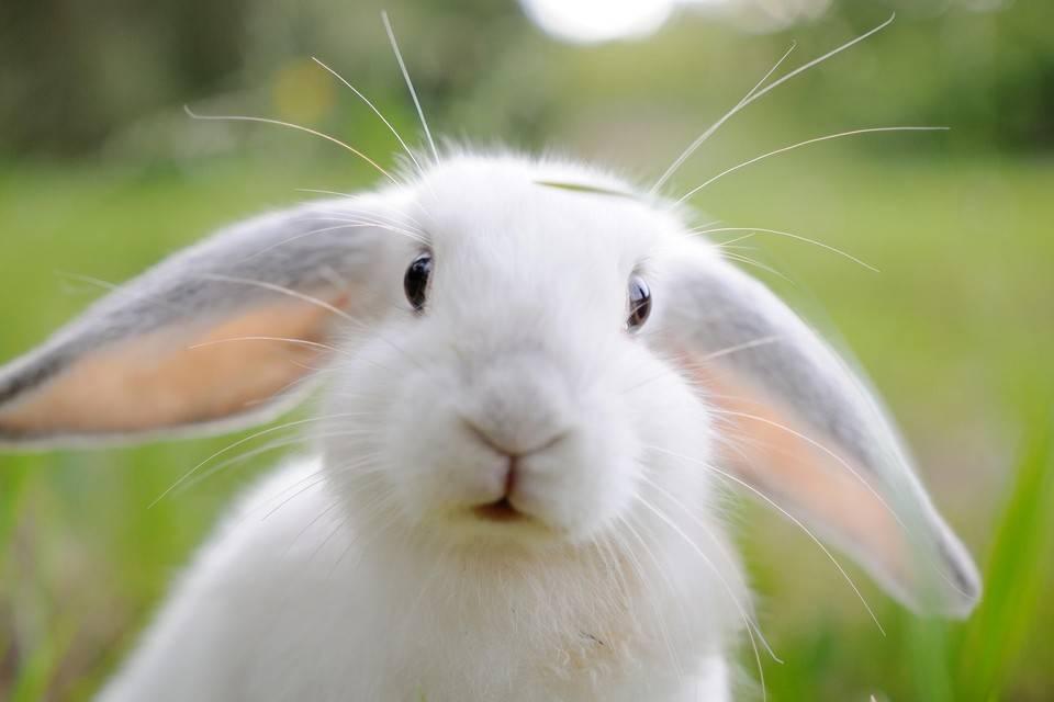 О белом кролике Паннон: характеристики породы, особенности разведения и ухода