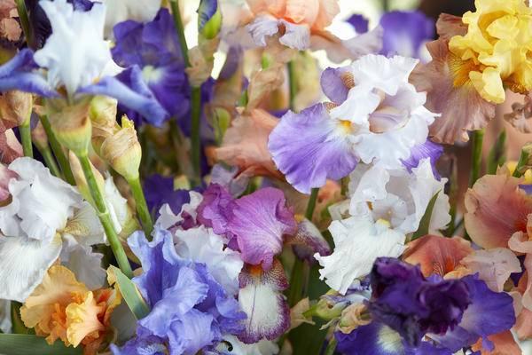 Ирисы посадка и уход в открытом грунте, когда сажать весной, осенью